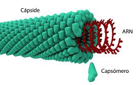 composicion-capside