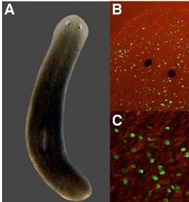 planaria-celulas-madre