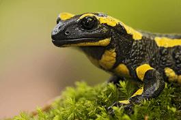 salamandra-curiosidades